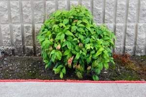 frosting plant border