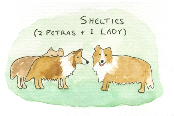 shelties